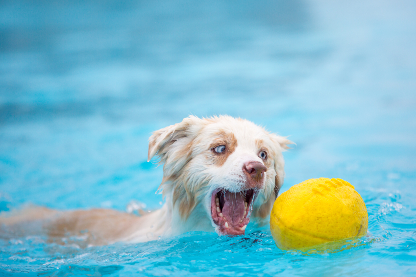 Dog in Pool With Ball